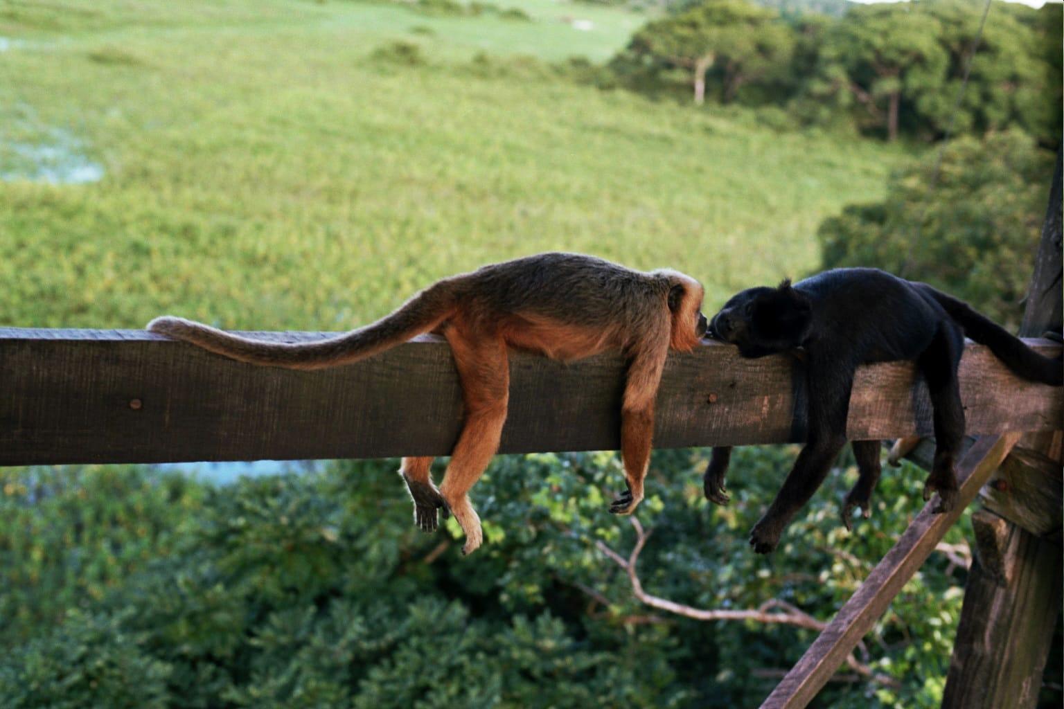 Brazilie Pantanal apen in de boom