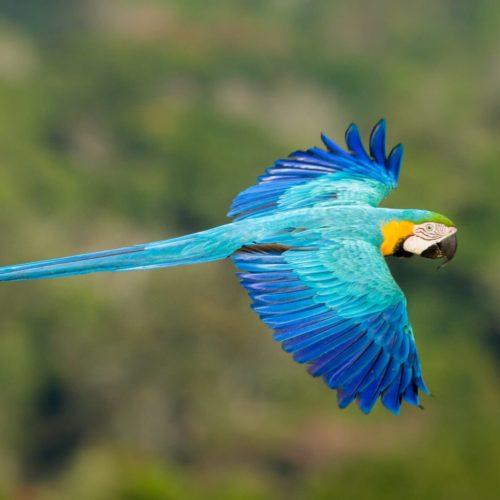 Amazone In Brazilie Blauwe Ara