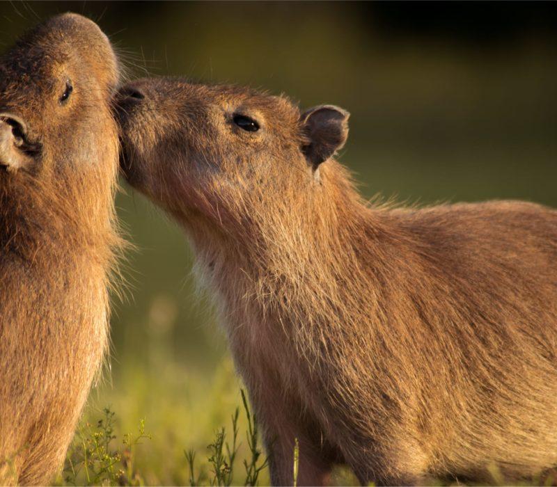 Capibaras In De Pantanal Van Brazilië