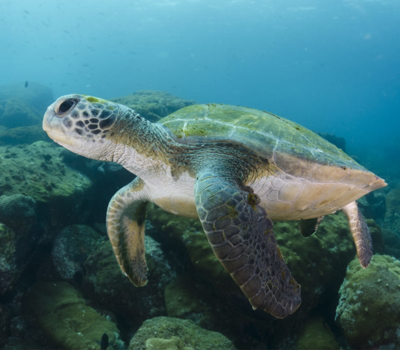 Schildpad Brazilië