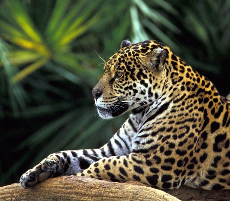 Jaguar In De Pantanal Van Brazilie