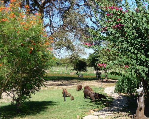 Spot Capibaras Rondom Deze Rustieke Lodge In De Pantanal