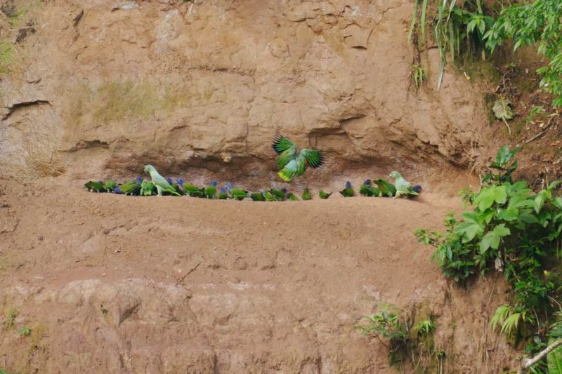 Claylick In De Amazone Van Ecuador
