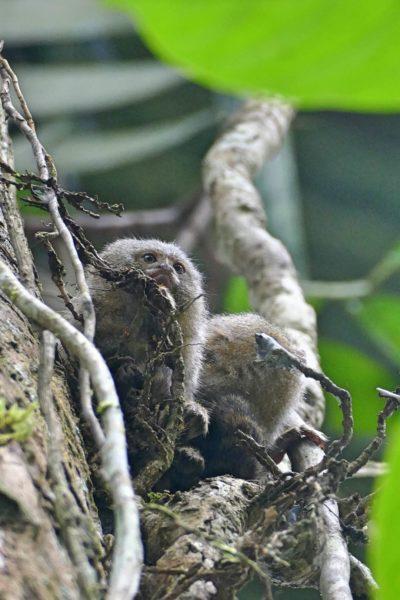 Kleinste Aapje Ter Wereld In De Amazone