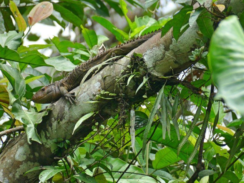 Lizard In De Amazone