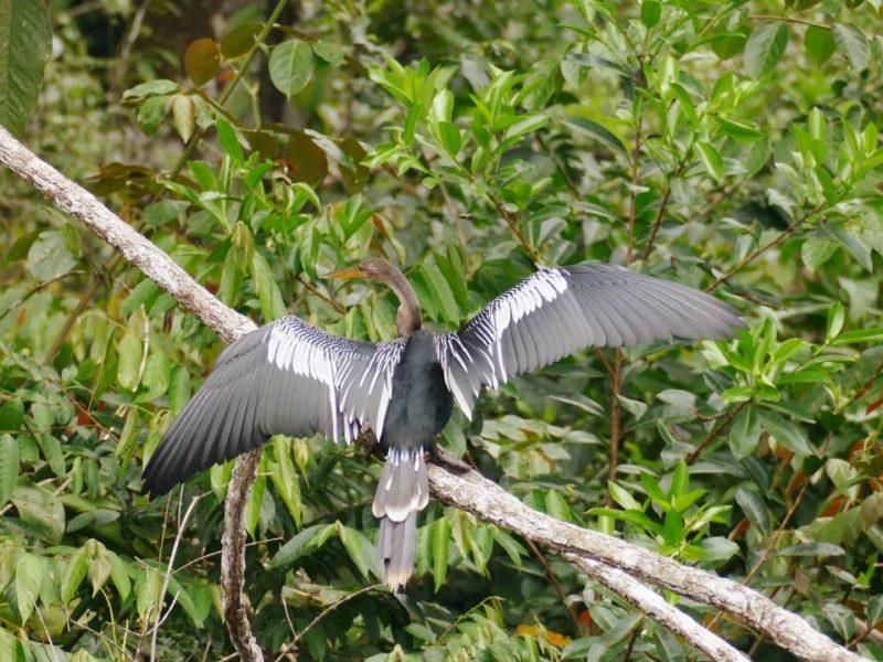 Tropische Vogel In De Amazone