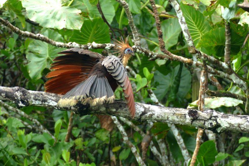 Stinky Turkey Vogel In De Amazone