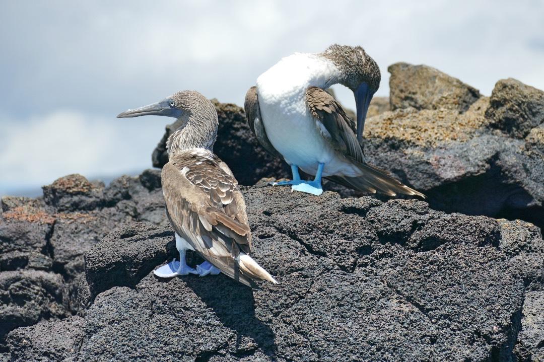 Ecuador_Galapagos_Blue_Footed_Boobies