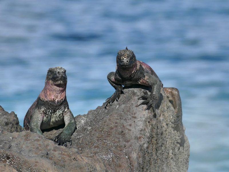 Mooiste Plekjes Ecuador Galapagos Leguanen