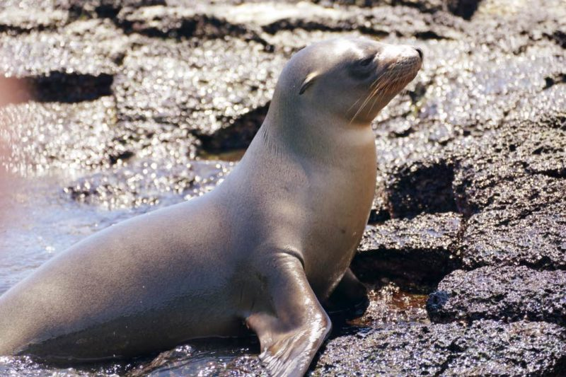 Zeeleeuw Op De Galapagos