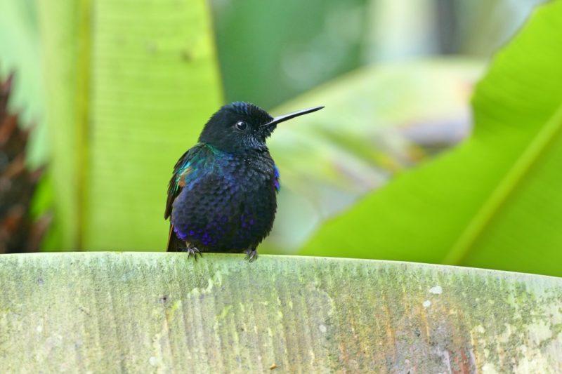 Kolibrie Op Blaadje