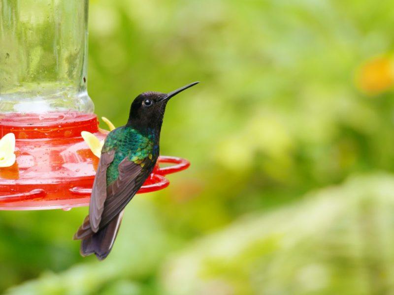 Ecuador Mashpi Lodge Kolibrie