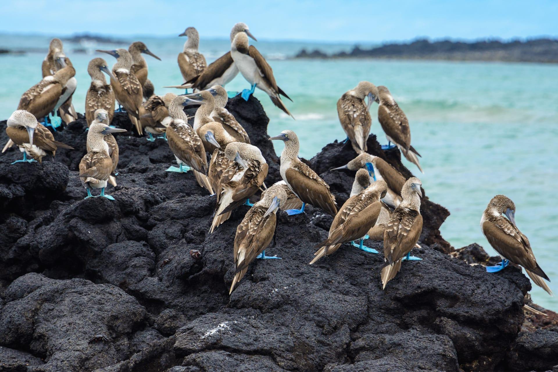 Blauwvoet jan van genten op de Galapagoseilanden
