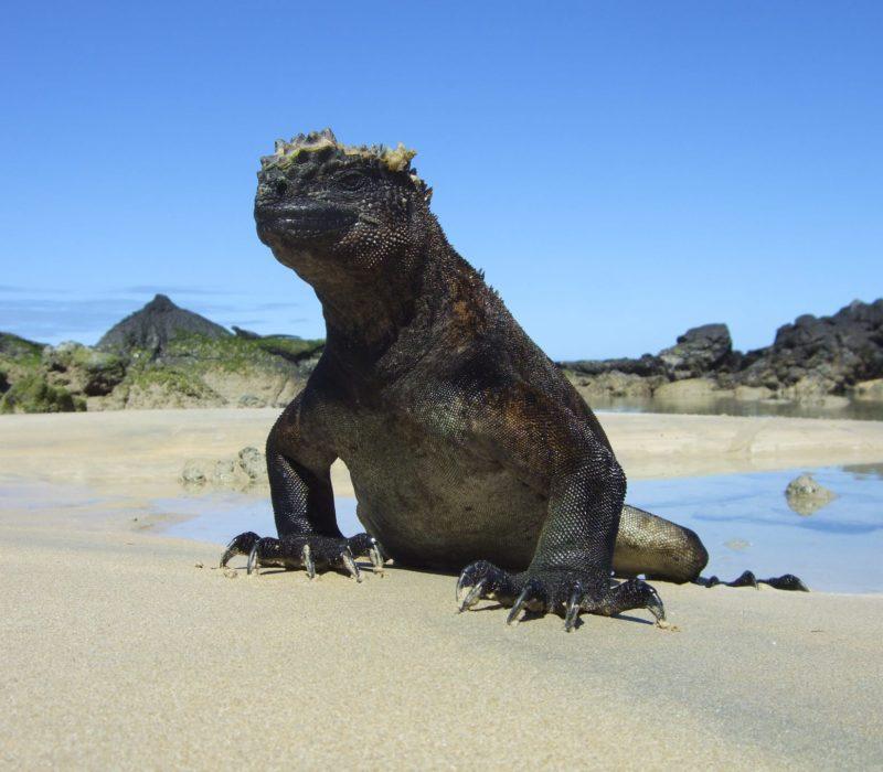 Budget Galapagos Leguaan Isabela
