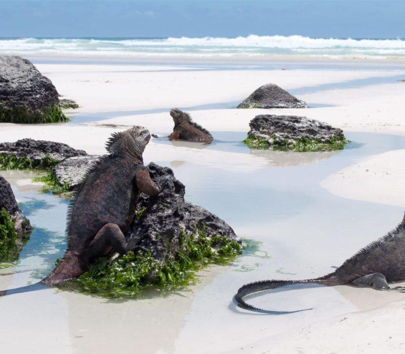 Tortuga Bay Santa Cruz Leguanen