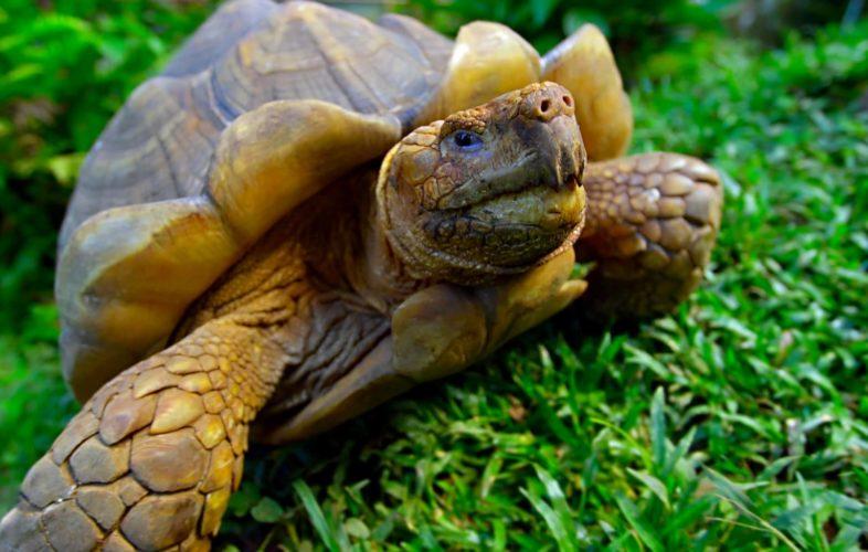 Schildpad Op De Galapagos