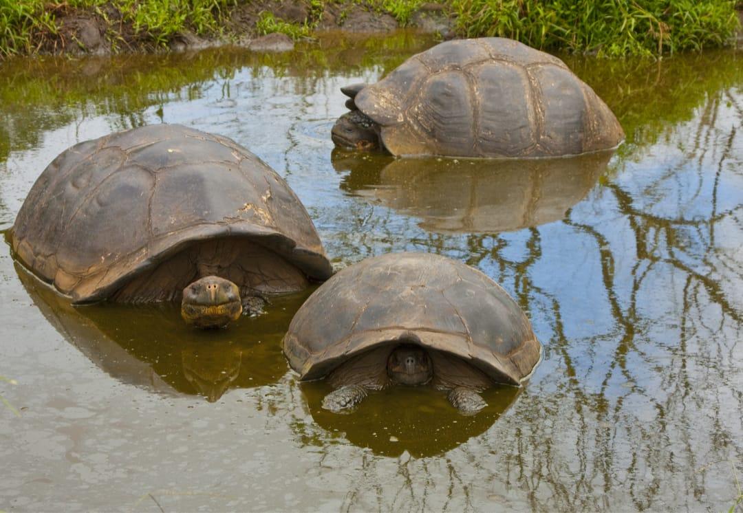 Reuzenschildpadden in de hooglanden van Santa Cruz