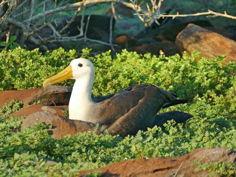 Albatros Op Galapagos