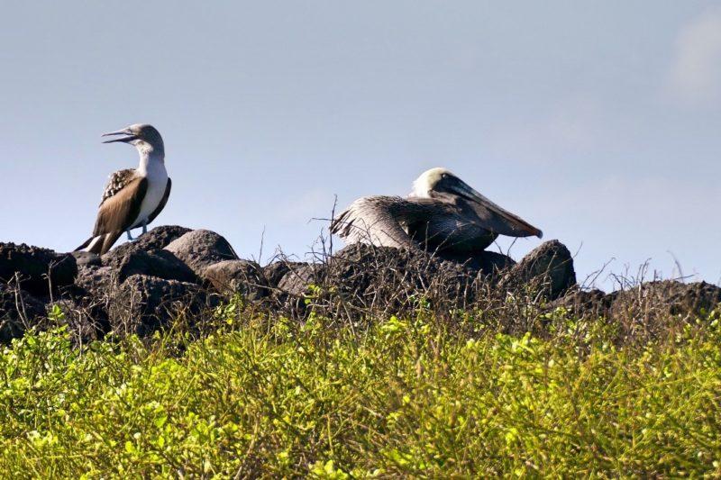 Galapagos_Blauwvoet_Jan_van_Gent