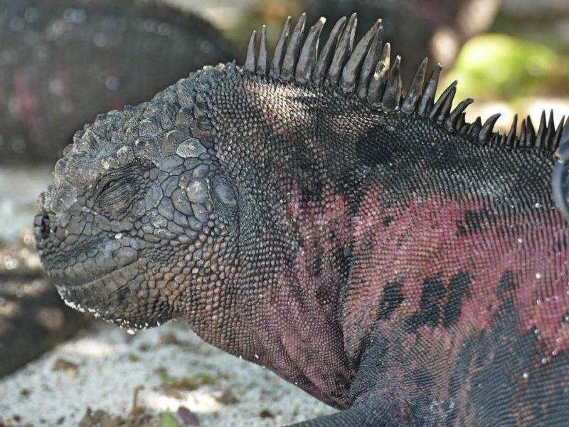 Galapagos Leguaan