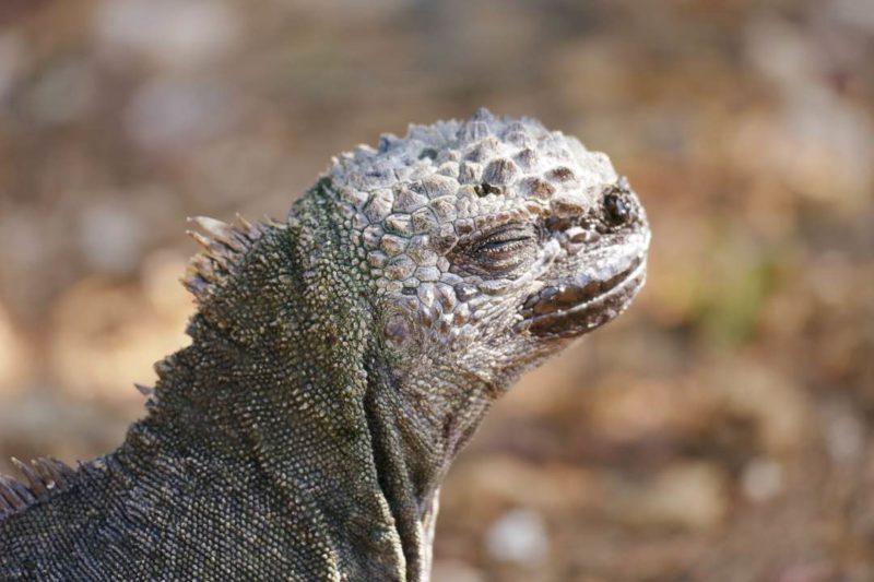 Leguaan Op Santa Cruz Galapagos