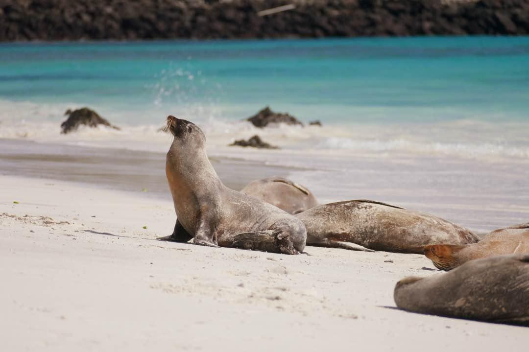 Zeeleeuw op Galapagos eiland Espanola