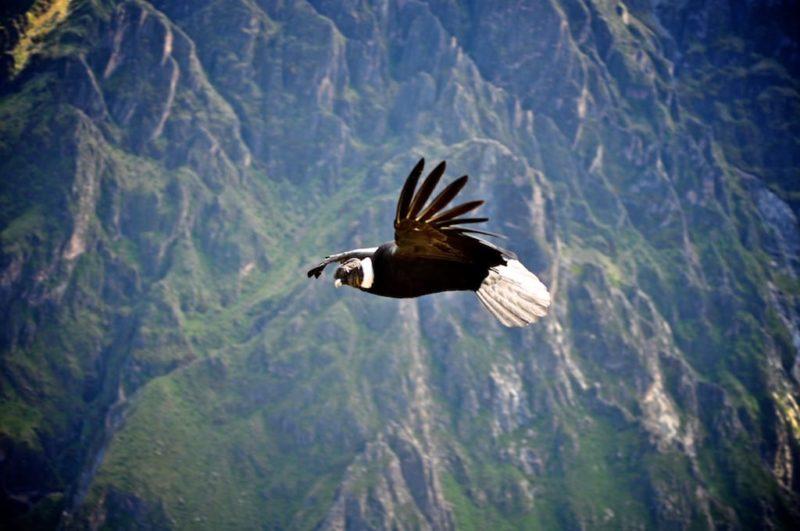 Condor In De Andes Van Peru