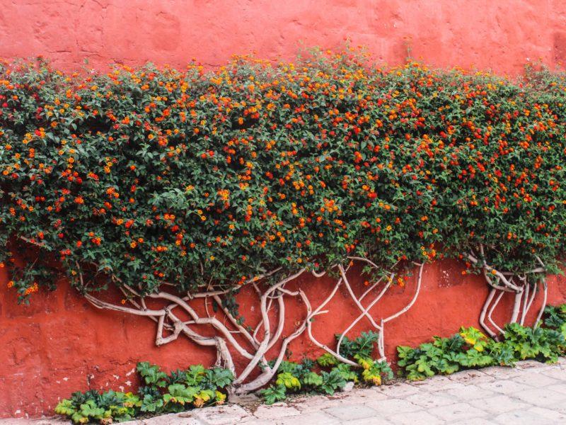 De Typerende Rode Kleur Van Het Santa Catalina Klooster In Arequipa In Peru