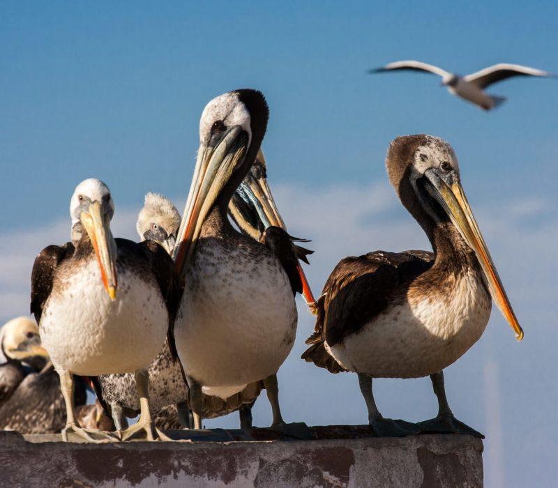 Pelikanen Bij Paracas In Peru