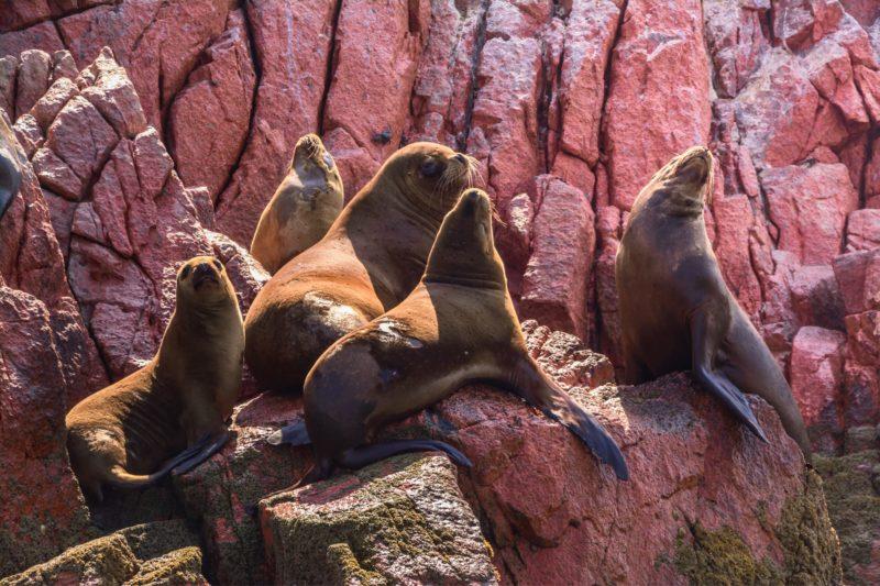 Zeeleeuwen Paracas Peru