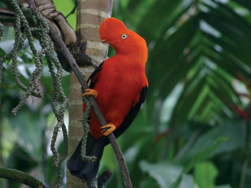 Tropische Vogel In De Amazone Van Peru