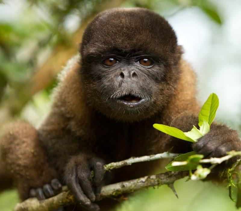 Amazone Aapje