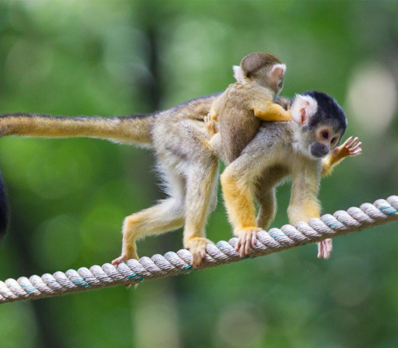 Aapjes Op Een Touw In De Amazone Van Ecuador