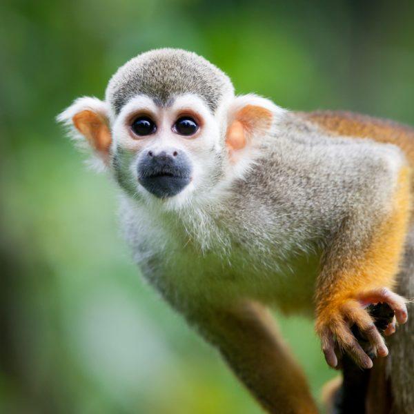 Nieuwsgierig Aapje In De Amazone