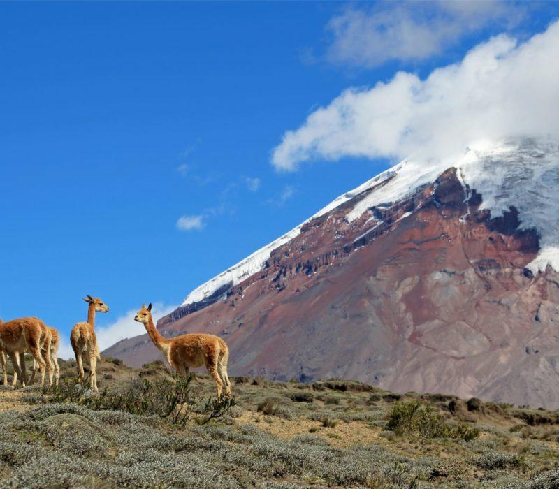 Lamas Bij De Vulkaan