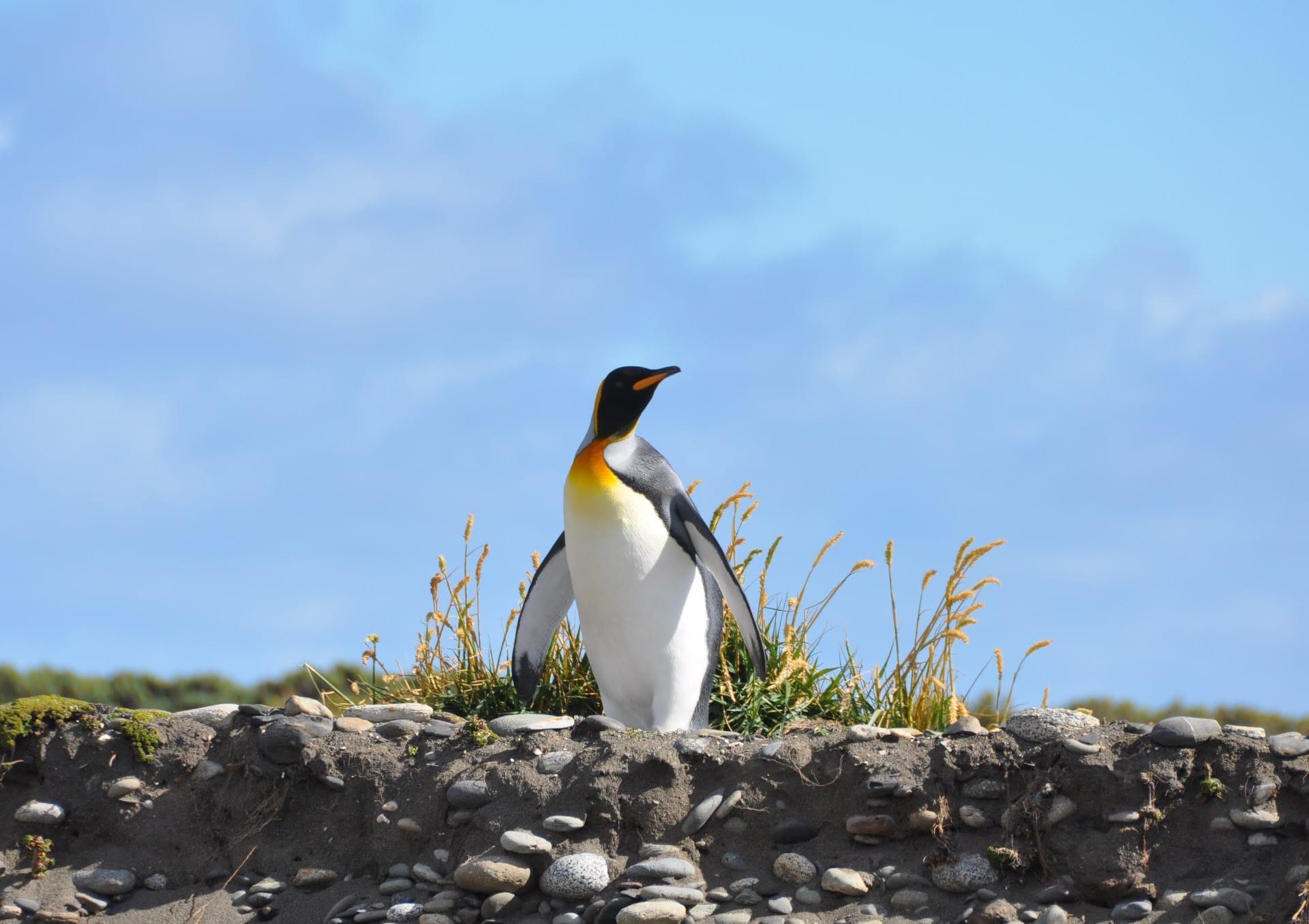 Pinguïn op Tierra del Fuego
