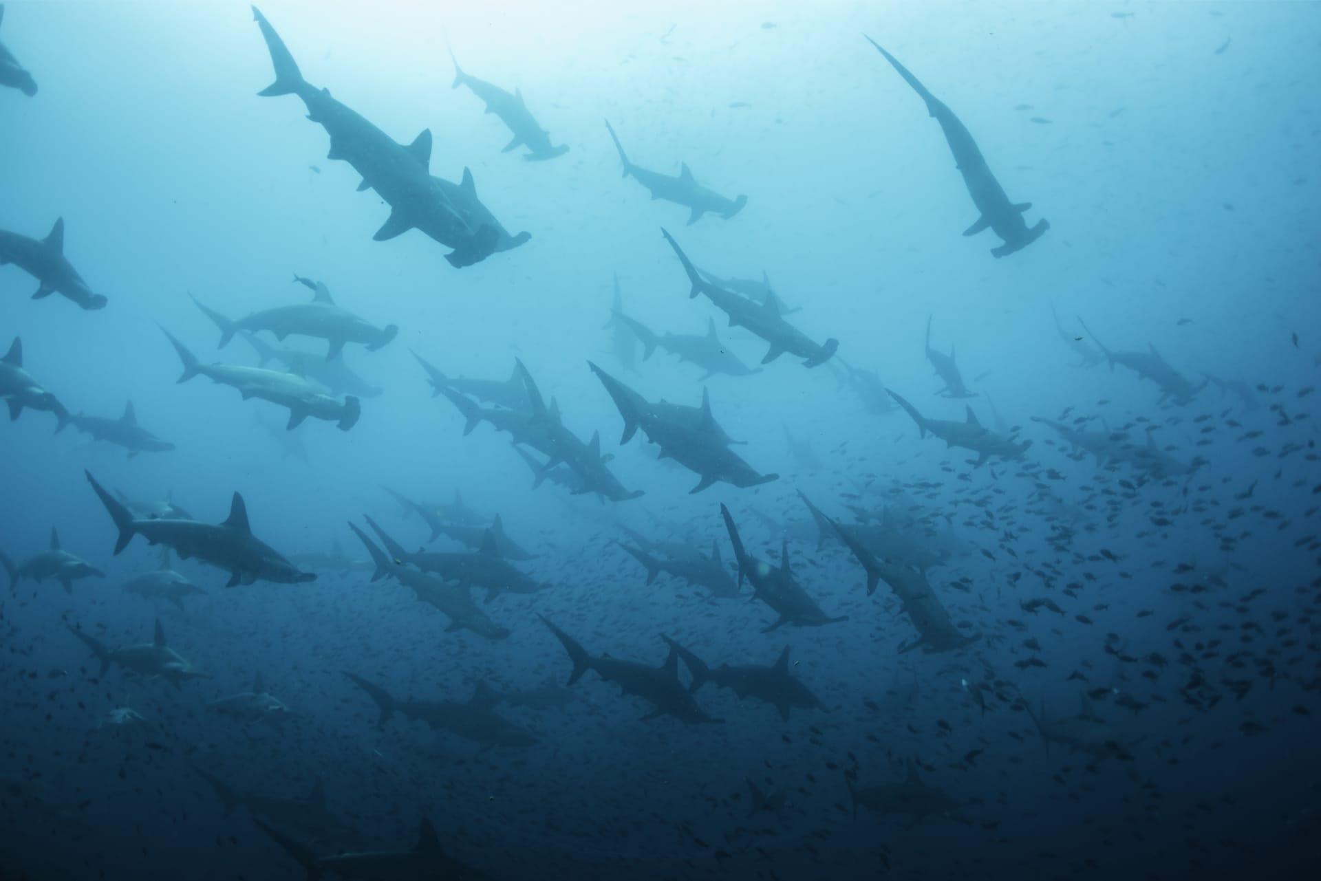 Duiken op de Galapagos Hamerhaaien