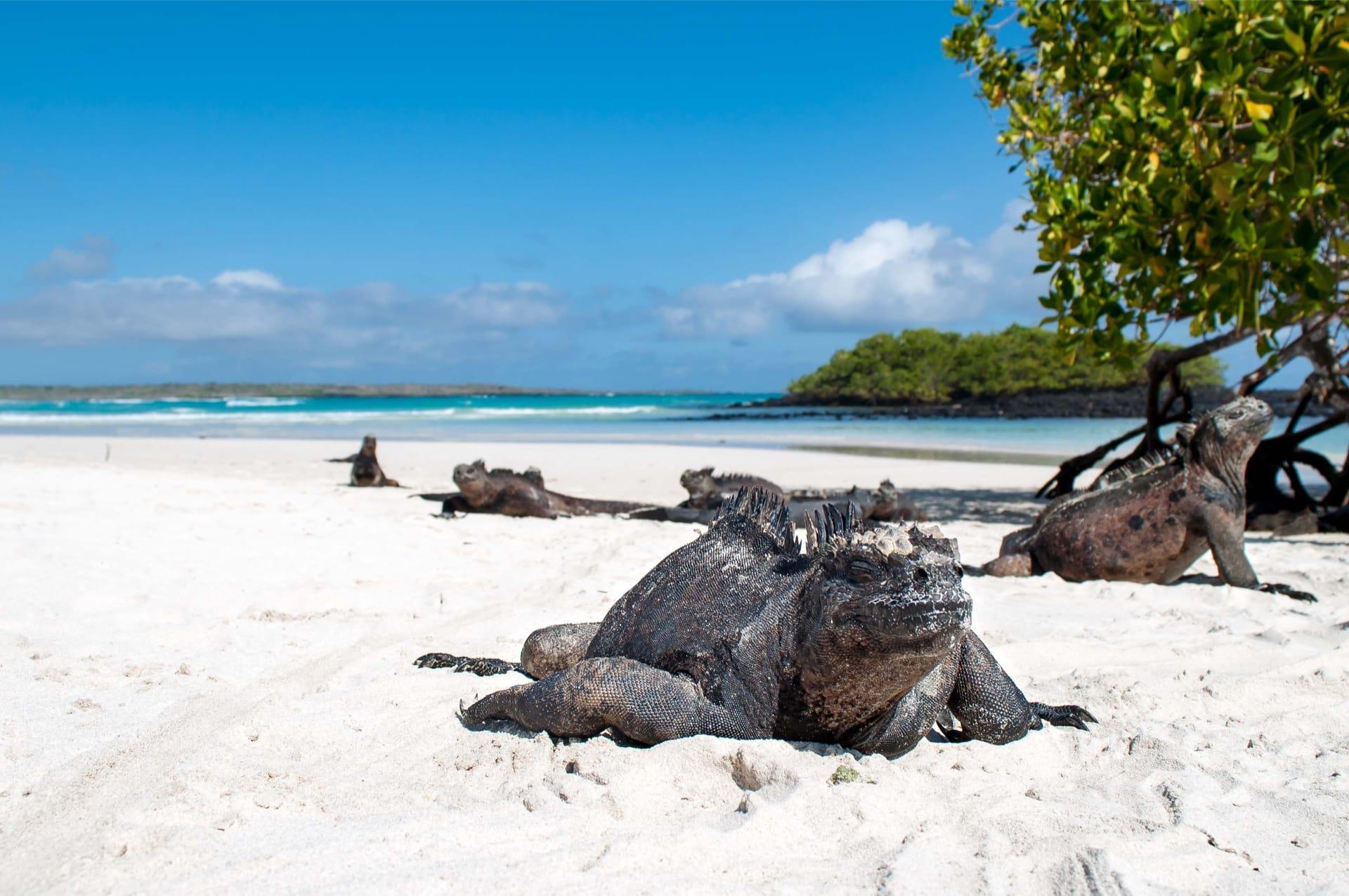Leguanen op Tortuga Bay