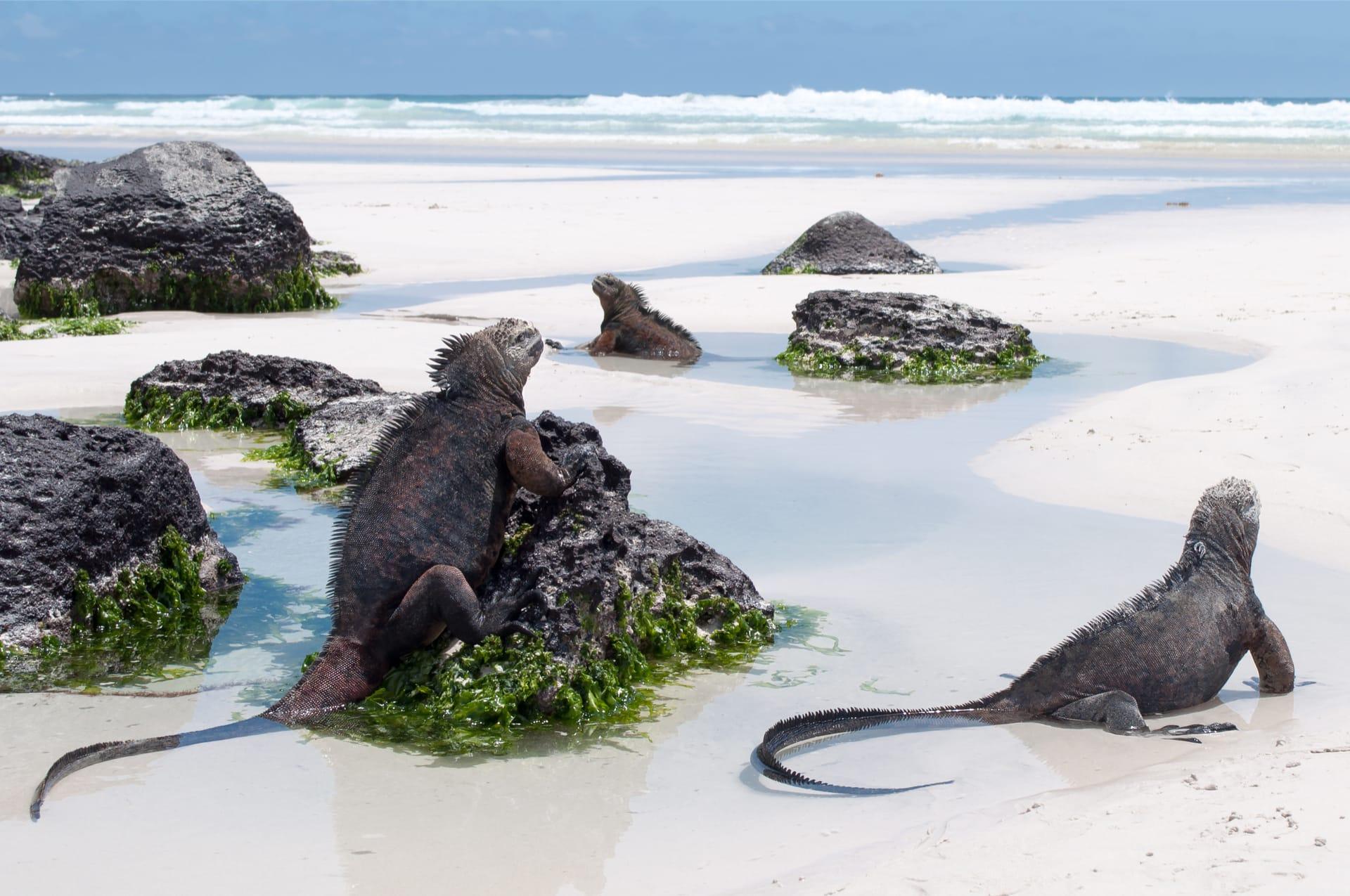 Zeeleguanen Galapagos