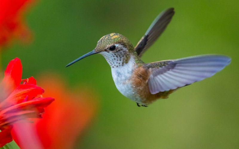 Kolibrie Nevelwoud Ecuador