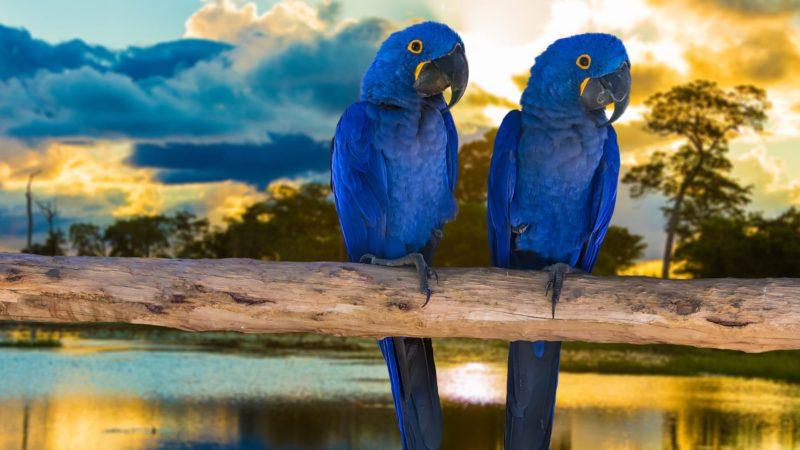 Blauwe Papegaaien In De Pantanal