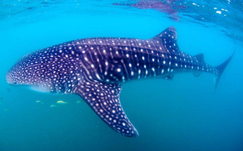 Snorkelen Met Walvishaaien Mexico
