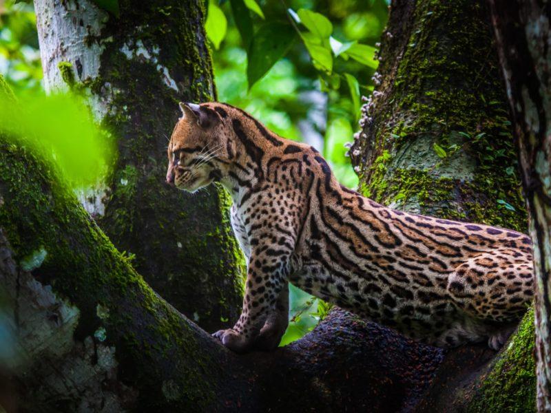 Jaguar In De Amazone