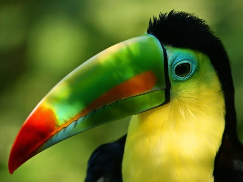 Toekan In De Amazone