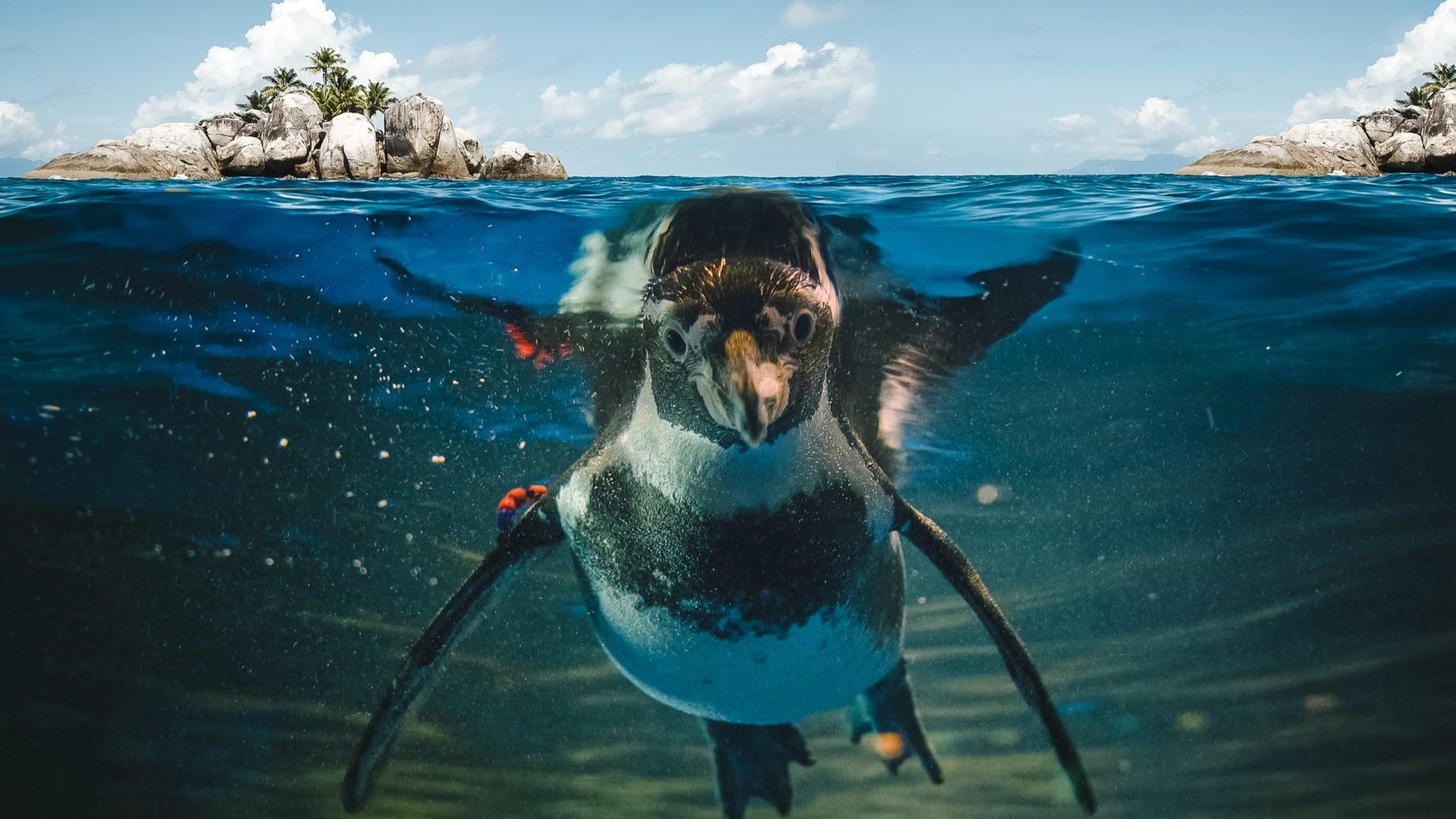 pinguin galapagos