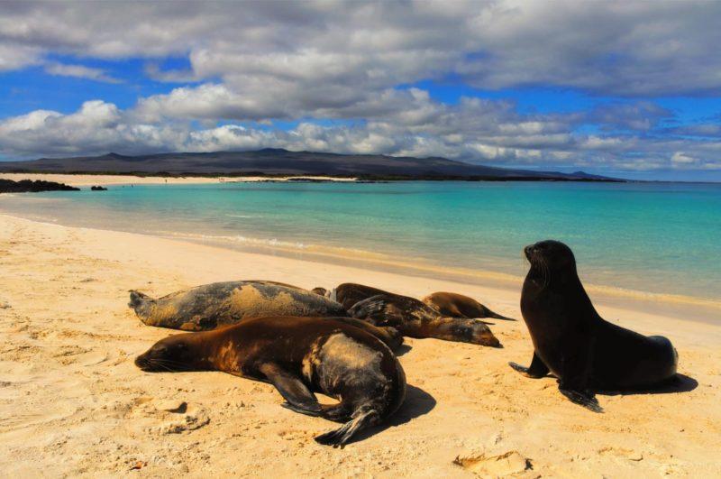 Zeeleeuwen Op Het Strand Van De Galapagos