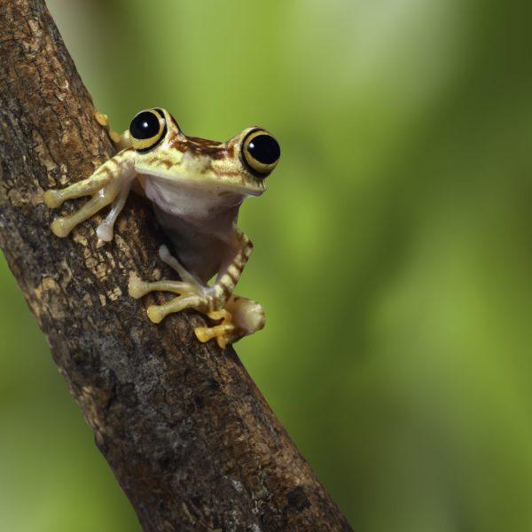 Kikker In De Amazone