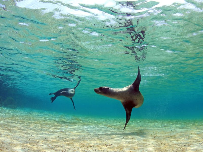 Spelende Zeeleeuwen Galapagos