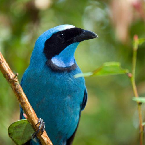 Blauwe Tanger Vogel In Het Nevelwoud In Ecuador