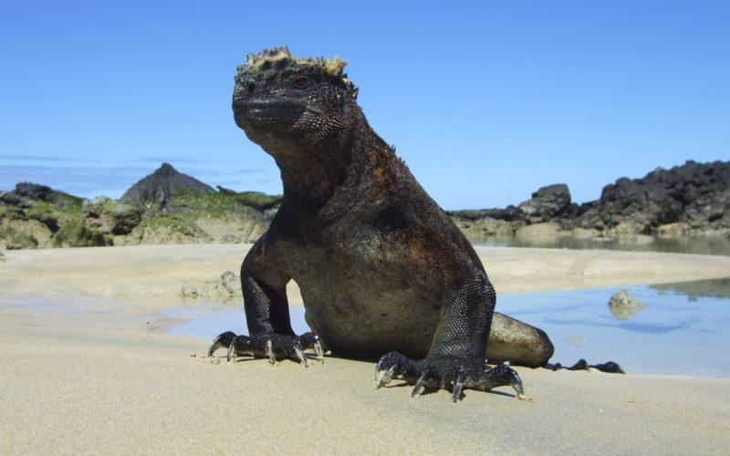 Galapagos Isabela Iguana